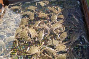 establish a soft-shell crab farm.