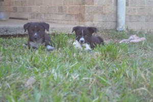 Foster puppies Jax and Tearah